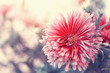 beautiful red aster