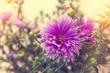 beautiful purple aster close up