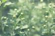 delicate flower buds
