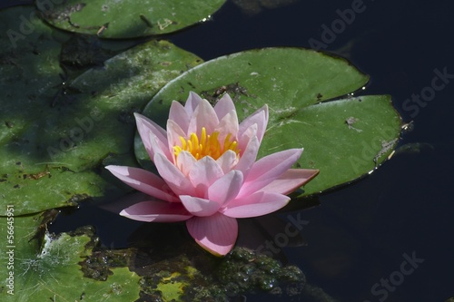 fiore di ninfea nello stagno