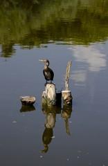cormorano sopra un tronco nel lago