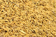 rice grain in farm