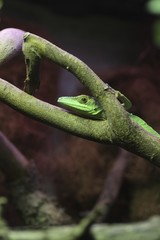 Lacerta viridis o ramarro orientale