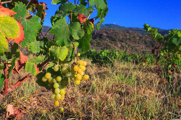 Zibibbo, white wine grape