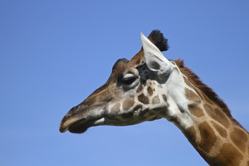 testa di Giraffa