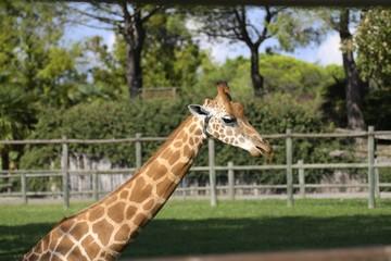 ritratto di giraffa