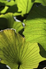 foglie giganti di loto