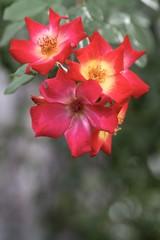 rosa canina fiori rossi