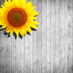 sunflower yellow orange leaning on white wooden background