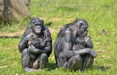 Bonobos et leurs petits