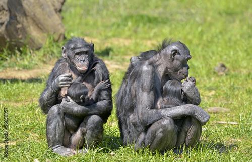 Foto op Canvas Aap Bonobos et leurs petits