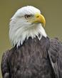 Weißkopfseeadler 8