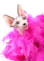 funny face Canadian Sphynx cat with fluffy pink feather boa