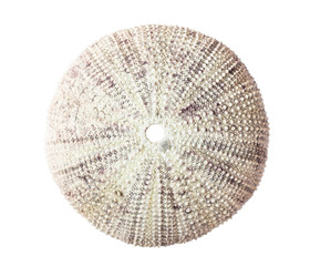 Sea urchin shell isolated on white background.