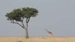 Masai giraffe, Masai Mara National Reserve, Kenya