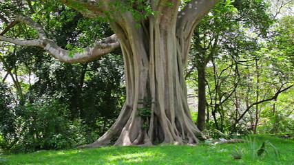 Video 1920x1080 - A big tree in the park. Sri Lanka