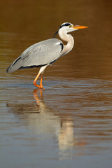 Grey heron in water