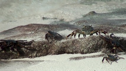 Crabs on the coast of the Maldives