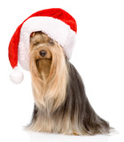 Yorkshire Terrier in red christmas Santa hat. isolated on white