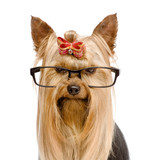 Yorkshire Terrier with glasses. isolated on white background