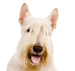 Scottish Terrier in front view. isolated on white background