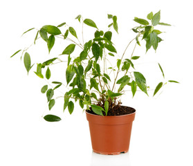 Ficus Benjamin in  flowerpot, isolated on white