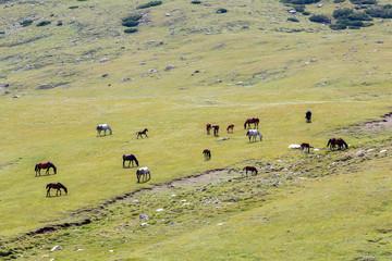 Pasturing herd of horses