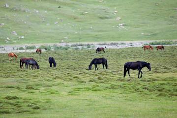 Dark horses feeding grass