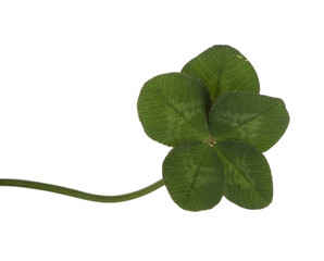 Rare five leaf lucky clover, isolated over white background