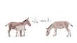 Equus Hemionus Onager Illustration