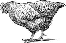 croquis de la poule