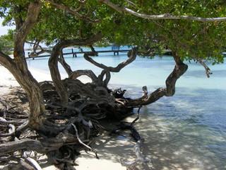 alberi in spiaggia ad Aruba
