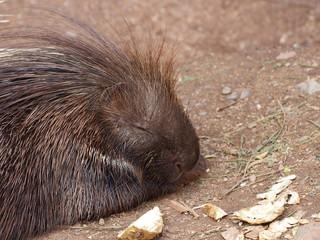 Resting porcupine portrait