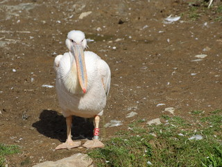 Great White Pelican resting