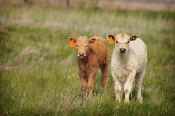 New Calves