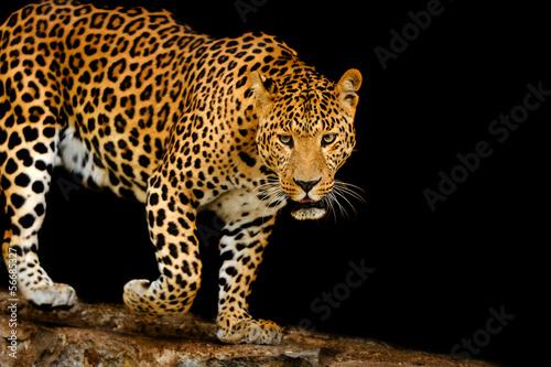 Fototapeten,leopard discus,afrika,afrikanisch,aufgebracht