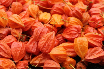 physalis, berries, lanterne, fruit orange, automne