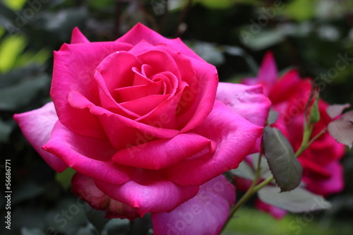 rose, pink, rosier, passion