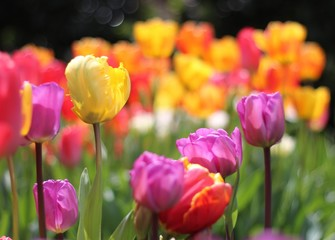 tulips, flower, tulipes