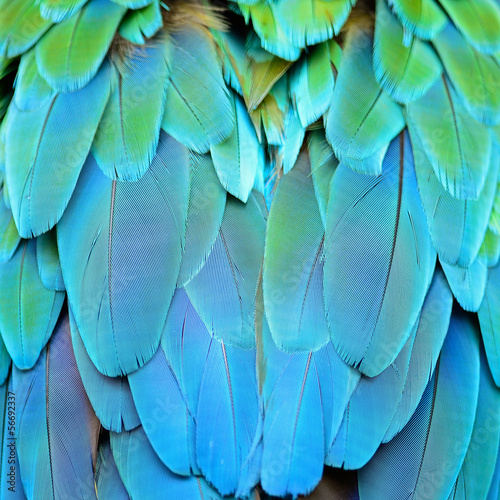 Harlequin Macaw feathers - 56692337
