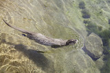 Otter swimming in a pond