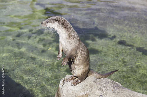 Otter drying in the sun