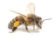 honeybee - 56695353