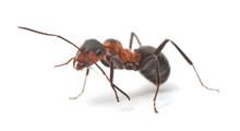 """Постер, картина, фотообои """"Isolated Red Ant"""""""