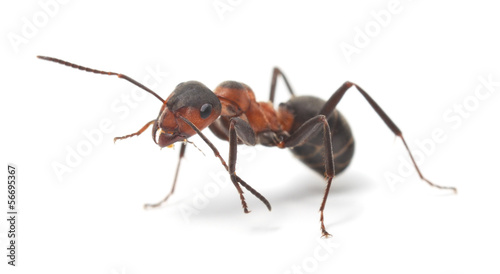 Isolated Red Ant - 56695367