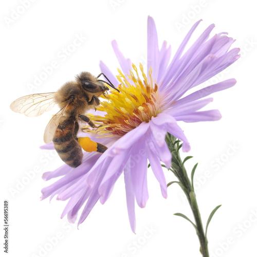 Keuken foto achterwand Bee Honeybee and blue flower