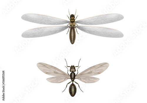 flying termite and flying ant