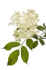 Holunderzweig mit Blüten