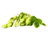 Branch of hops isolated on a white background.