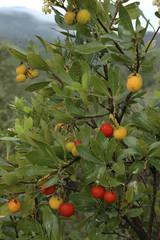 Arbousier, Hippophae rhamnoides, Fruits